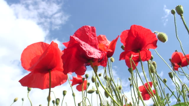 Poppies against cloudy sky video