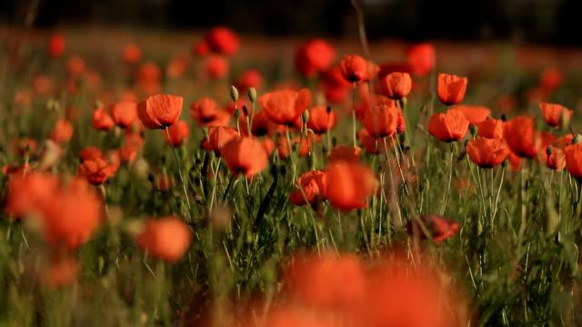 Poppies - Campo di papaveri video