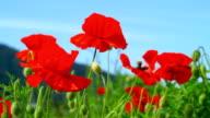 Poppies field. video