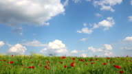 poppies flower and blue sky with clouds landscape video