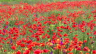 poppies flower field nature background video