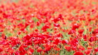 poppies flower spring season video