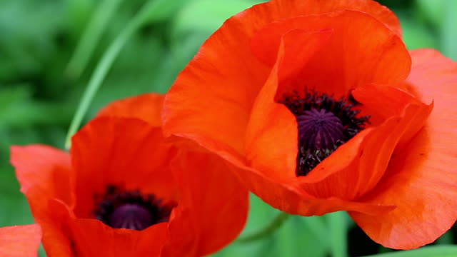 Poppies Flowers Looped Background Footage video