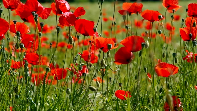 Poppies in wheat field video