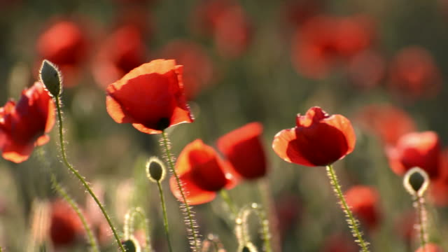 Poppies in wind video