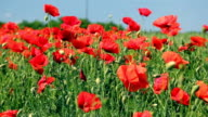 Poppies on green field video