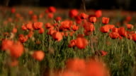 Poppies - Campo di papaveri video