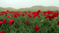 HD: Poppies video