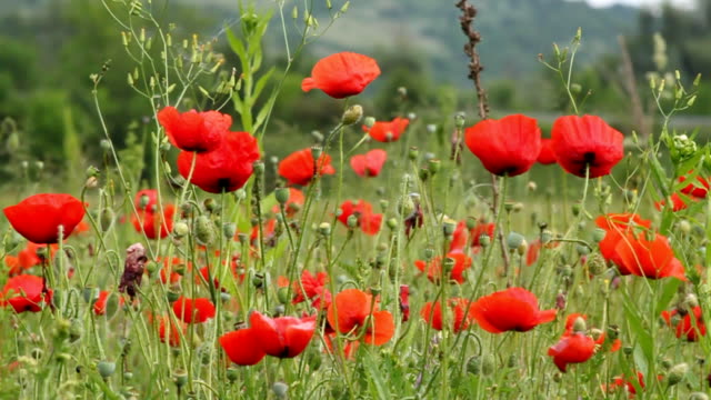 poppies video