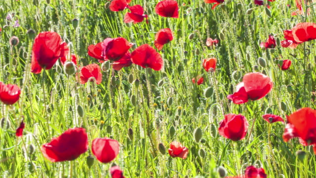 Poppies video