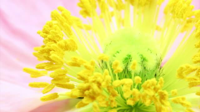 Poppy blooming HD video