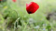 Poppy close up video