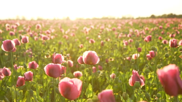 HD DOLLY: Poppy Field Against Late Sunlight video