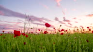 WS DS Poppy Field At Sunset video