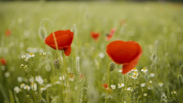 Poppy field. Blooming Poppies. video