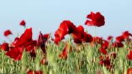 Poppy Field In Summer video