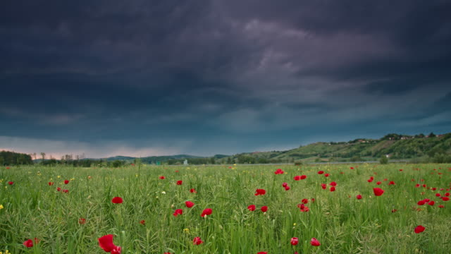 DS Poppy field in the storm video