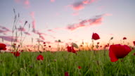 MS DS Poppy Field In The Sunset video