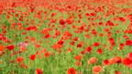 poppy field in the wind video