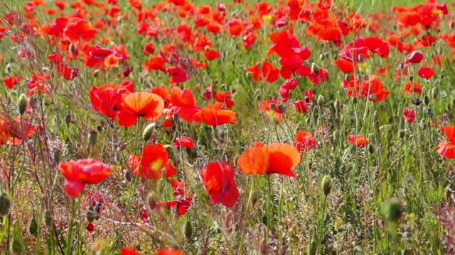 Poppy Field on a Sunny Day video