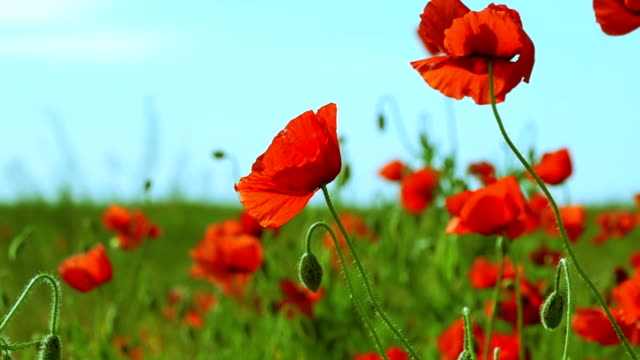 Poppy Field on a Sunny Day video