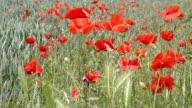 Poppy Field video