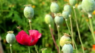 Poppy flower and honeybee on the papaver heads background video