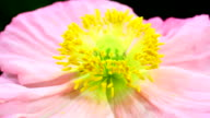 Poppy flower blooming 4K video