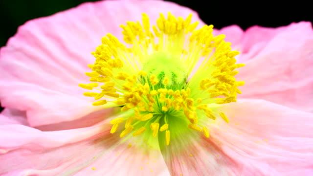Poppy flower blooming 4K video