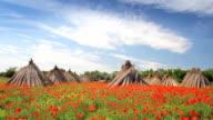 Poppy flower field, landscape video