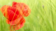 poppy flower in green barley field closeup video