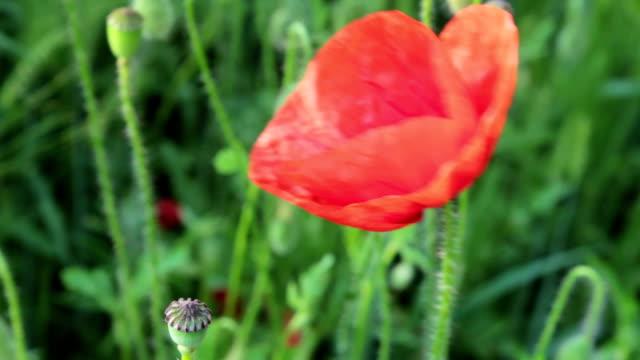 Poppy flower video
