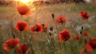 Poppy flowers and sunset video
