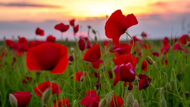CU DS Poppy Flowers At Dusk video