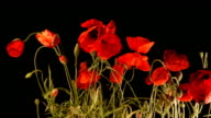 Poppy flowers growing video