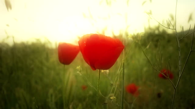 poppy flowers in field video