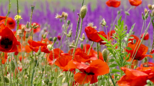 Poppy flowers on green meadow video
