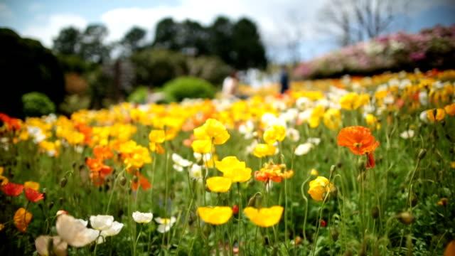 Poppy flowers swinging in wind video
