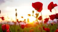 CU DS Poppy Flowers video