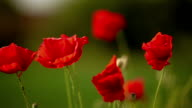 poppy seed flowers video