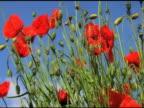 NTSC: Poppy video