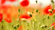 Poppy (HD 1080) video