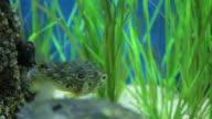Porcupine fish video