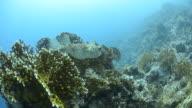 Porcupine fish. video