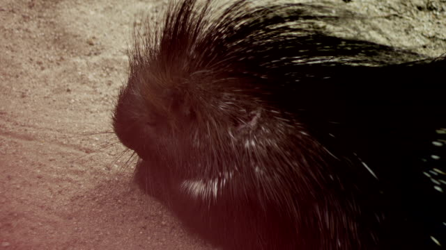 Porcupine in the Sand video