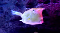 Porcupine Puffer in the sea video