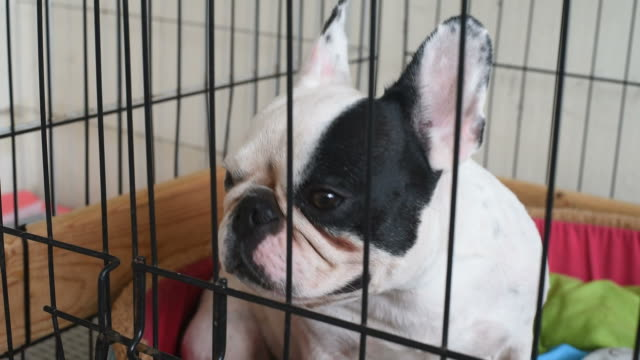 Portrait french bulldog in the cage. video