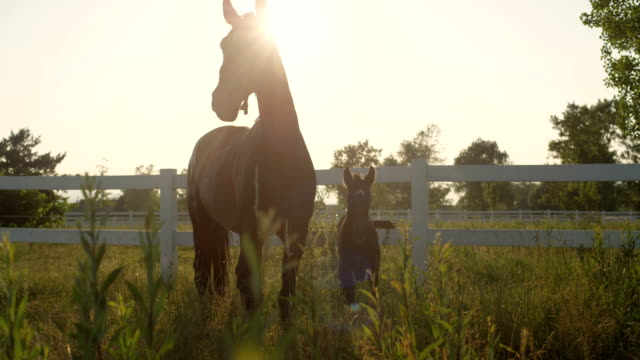 CLOSE UP: Portrait of a beautiful horse family - mare and foal - on sunny field video
