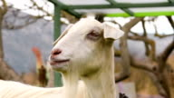 Portrait of a cute goat bleating. video