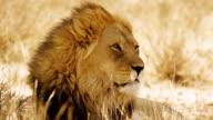 Portrait of a Lion video